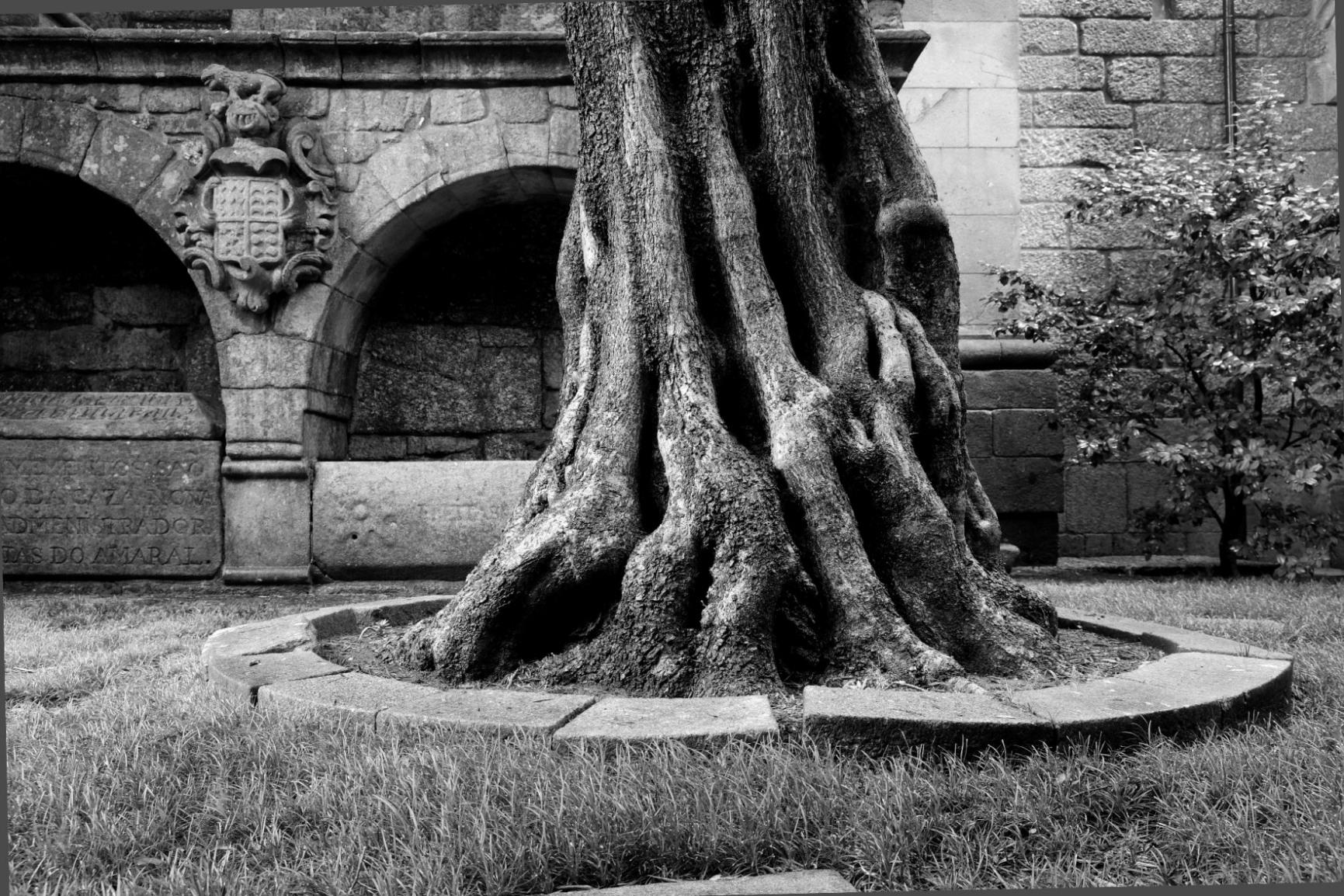 Imagem a preto e branco da base do tronco da oliveira do claustro.